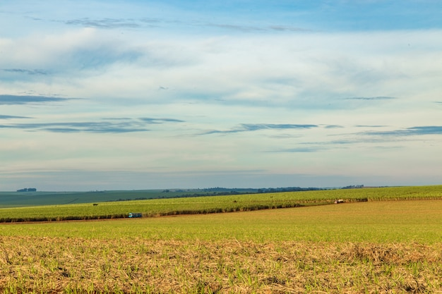 Cane sugar field, dumont. sao paulo countryside state
