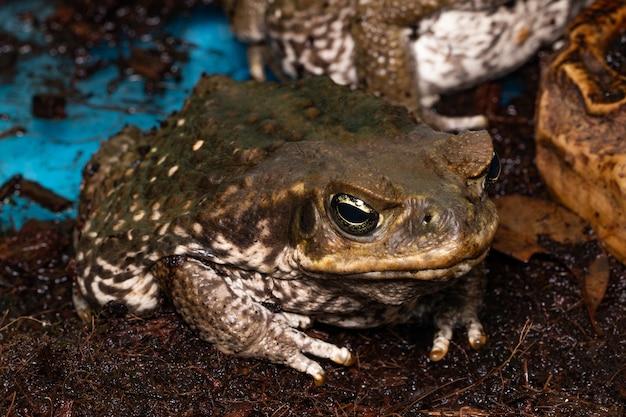 オオヒキガエル-bufomarinus-巨大な新熱帯性または海洋性のヒキガエルとしても知られています。