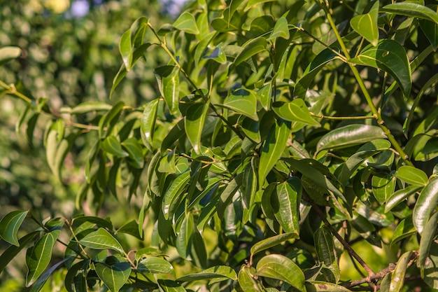 Листья канелы в природе при выращивании в доминиканской республике