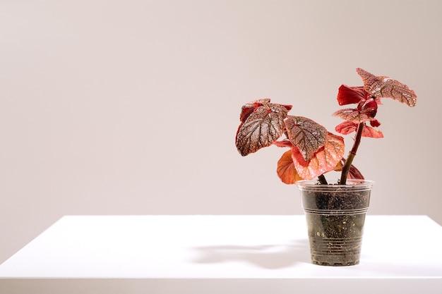 지팡이 같은 베고니아 모리스 에이미 폴카 도트 베고니아 열대 잎 자연 화면 배경