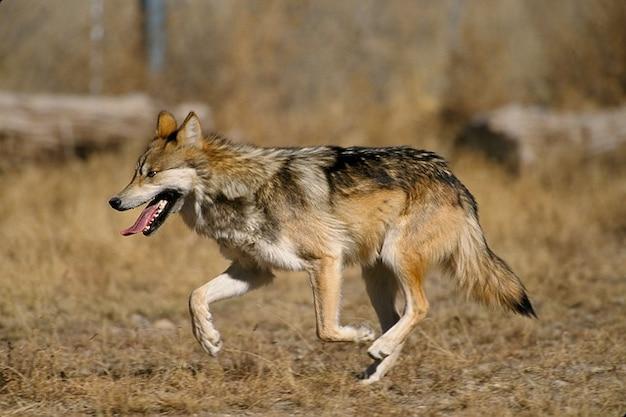 Волк canis волчанка baileyi мексиканская