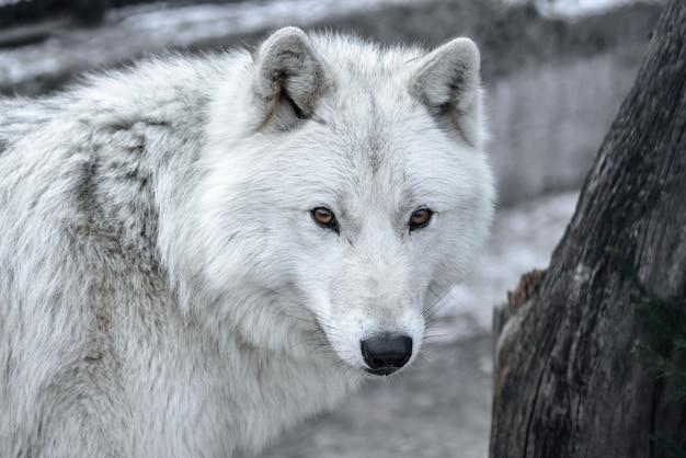 ホッキョクオオカミcanis lupus arctos別名北極狼または白狼-この美しい捕食者のクローズアップの肖像画