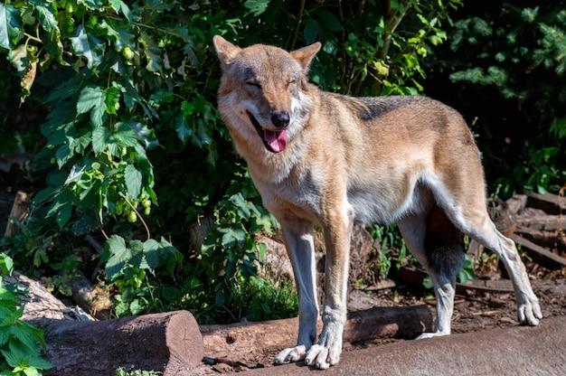 飼育下のカニスループスまたは灰色オオカミ