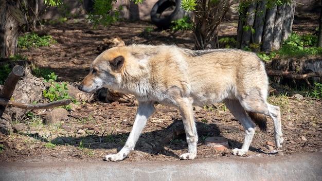 Серый волк (canis lupus) портрет - пленное животное. волк в зоопарке летом.