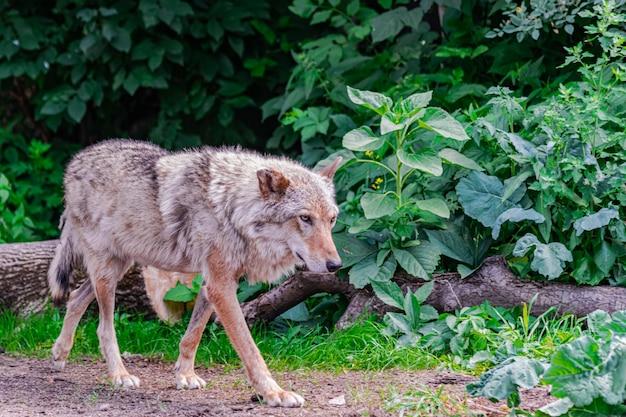 灰色のオオカミ(canis lupus)、植生の中で右に歩く