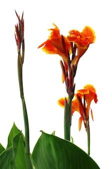 Канна индика или цветок колботи индийского субконтинента