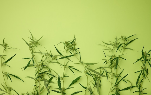 Cannabis branch with green leaves on a green background, alternative medicine, flat lay