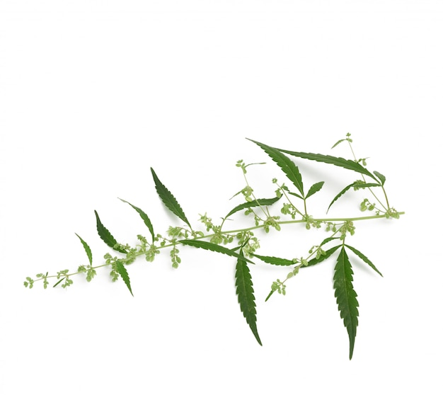 Cannabis branch with green leaves and seeds isolated on belrm background, close up