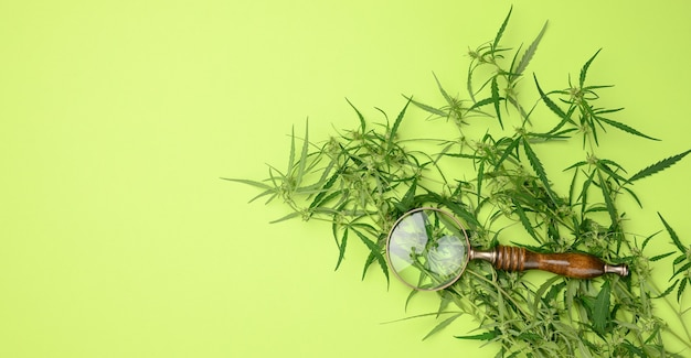 Cannabis branch with green leaves and wooden magnifier on a green background, alternative medicine, flat lay