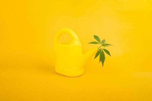 대마초 관리 개념, 물뿌리개, 마리화나 식물은 노란색 배경에 있습니다.