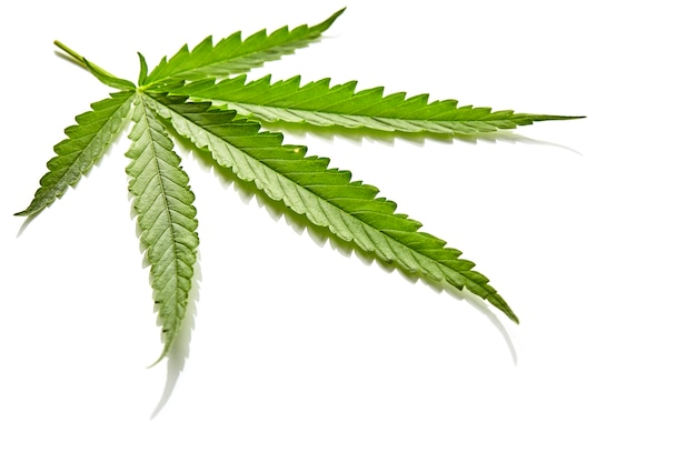 Cannabis fan leaf on white