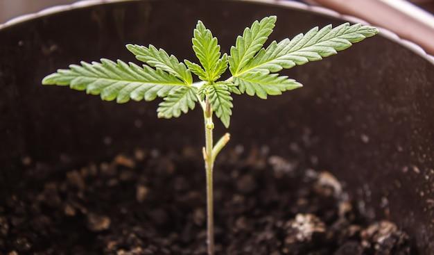 달인 오일 치료를 위한 대마초 허브와 잎. 선택적 초점입니다. 자연