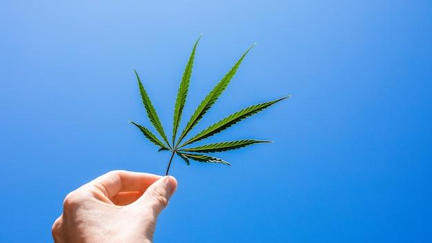 空を背景に大麻の葉。青い空を背景にマリファナの葉を保持している手。