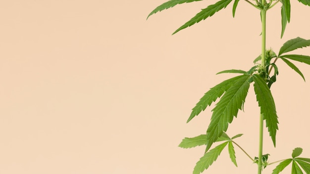 大麻の葉の組成のクローズアップ