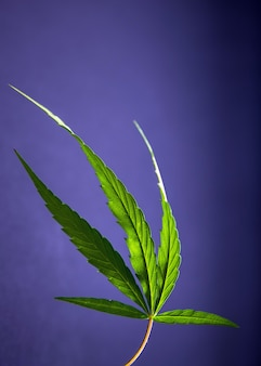 Cannabis leaf, marijuana plant on blue background.