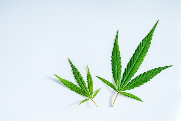 Cannabis leaf, medical marijuana isolated over clean white background in the studio