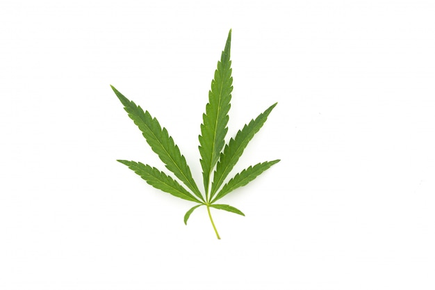 Cannabis leaf on a white background