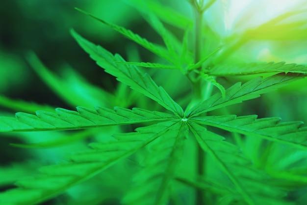 식물 마리화나 잎의 대마초 잎은 약으로 사용됩니다.