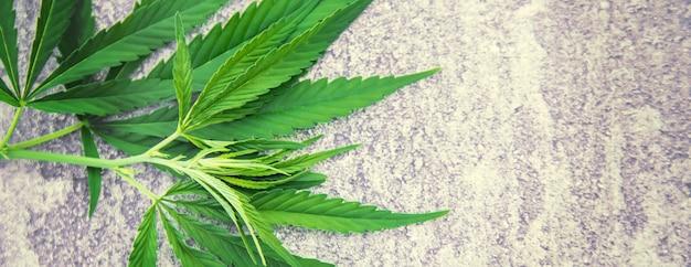 대마초는 구체적인 배경에 나뭇잎. 선택적 초점입니다. 자연.