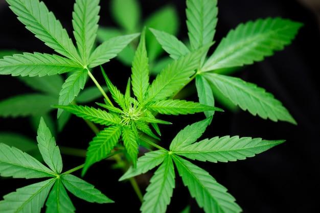 種子からの大麻マリファナの花