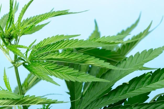 Cannabis marijuana plant detail
