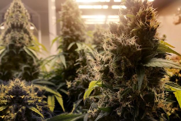 Лаборатория каннабиса и марихуаны в закрытом хозяйстве для производства медицинских препаратов