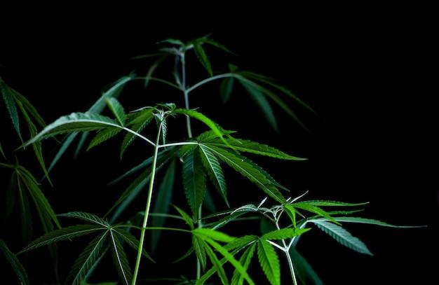 黒の背景に大麻