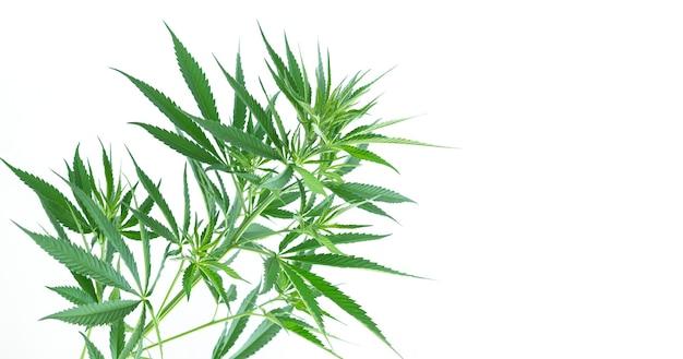 大麻または麻の植物の葉は白い背景で隔離