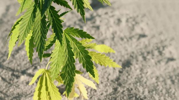 대마초 또는 마리화나 식물은 복사 공간이 있는 흐린 배경에 있습니다. 농장에서 유기농 대마초 배경 허브 재배