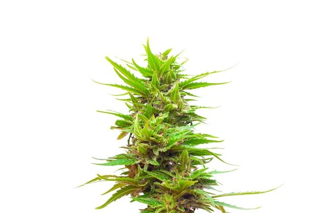 대마초 식물 새싹에 고립 된 흰색 배경