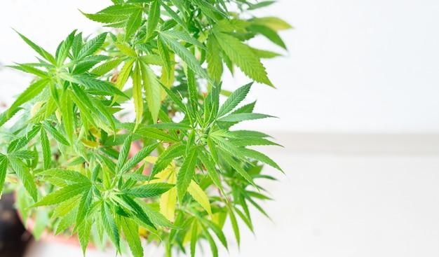白のカンナビス植物
