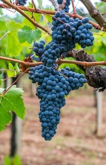 Гроздь винограда каннонау на винограднике, йерзу сардиния, италия