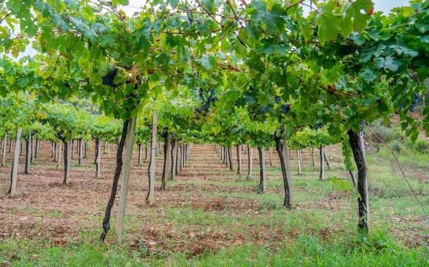 ブドウ園、jerzuサルデーニャ、イタリアのcannonauブドウのクラスター