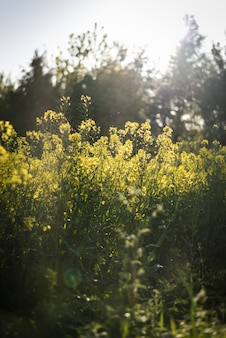 Canola field surrounded by greenery under sunlight with a blurry background