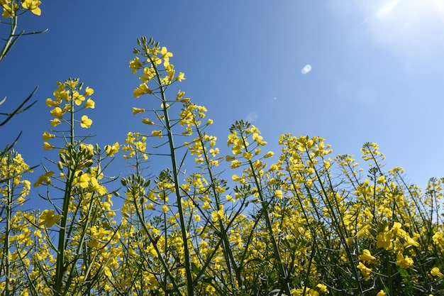 Canola fields in the ampurdan, near monells, girona province, catalonia, spain