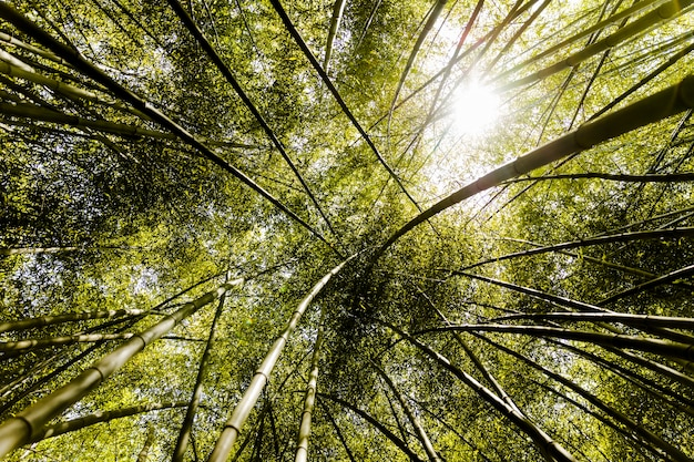 Canopy of tall bamboo groves