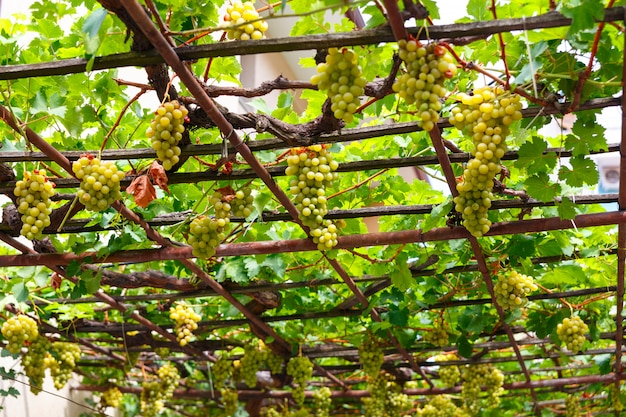 Canopy of white grapes in the patio