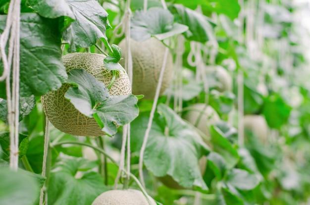 Cantaloup melon growing in greenhouse farm