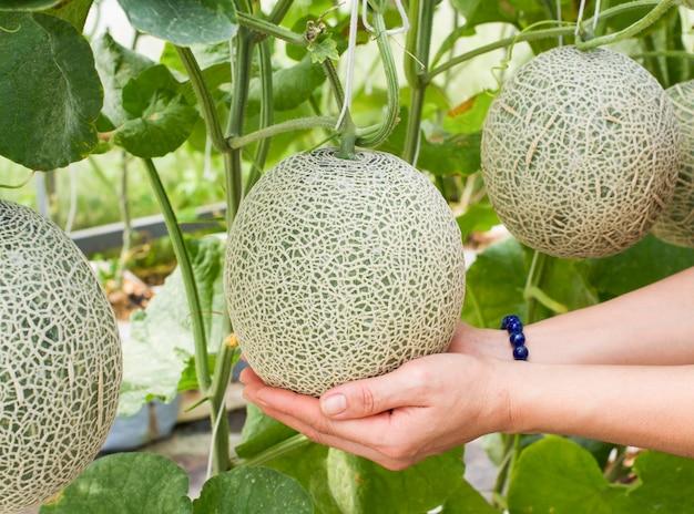 Cantaloupe in garden. fresh melon on tree. selective focus