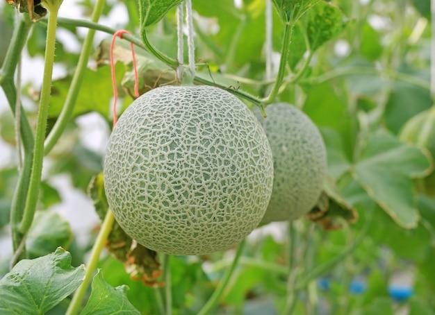 Cantaloupe melon in greenhouse farm.