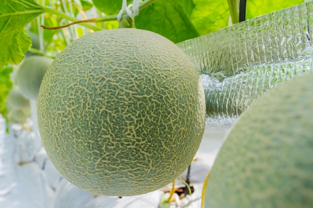 Cantaloupe melons growing in a greenhouse