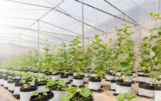 Cantaloupe melons plants growing in film greenhouses farm