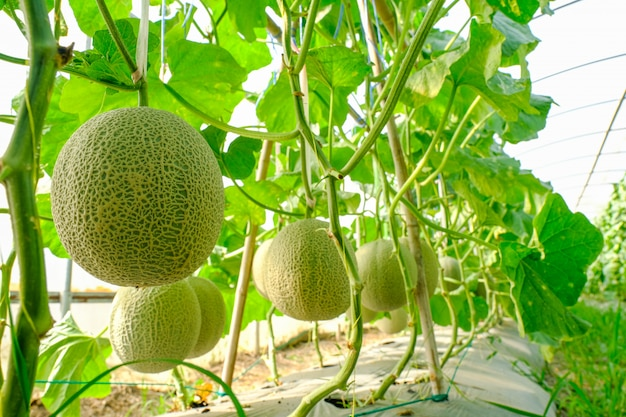 Cantaloupe melons plants growing in greenhouse supported by string melon nets.