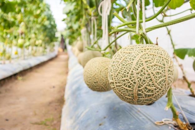 温室の庭で育つメロンメロン植物