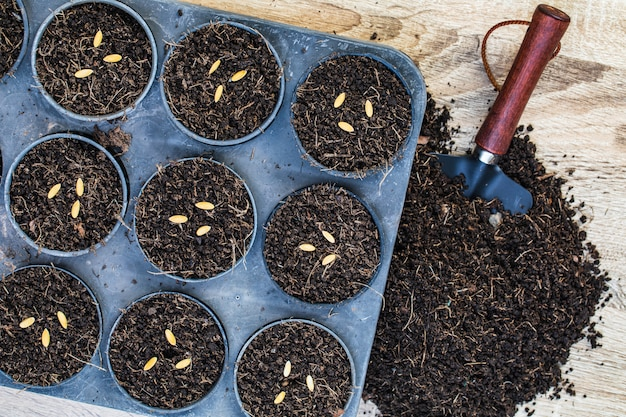 Cantaloupe seeds in germination tray with dark fertile soil.