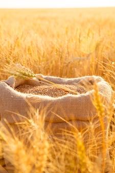 日没時に畑に小麦粒と刈り取られた小麦の耳が付いたキャンバスバッグ。農業における穀物収穫の概念。