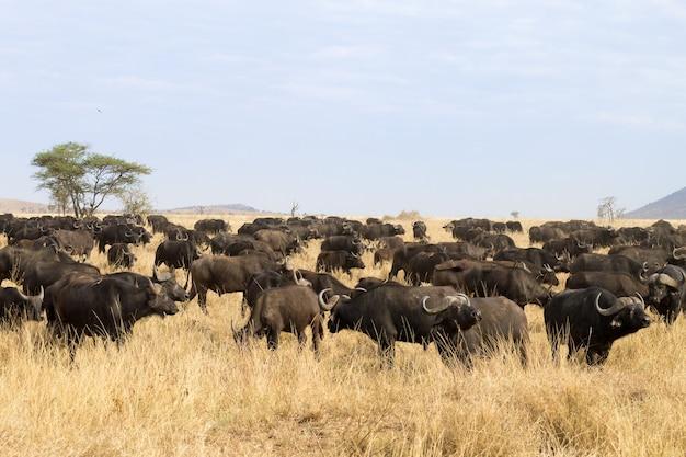 Cape buffalo from serengeti national park, tanzania, africa. african wildlife
