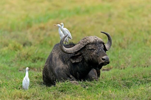 ケニアのナクル湖国立公園のケープバッファロー