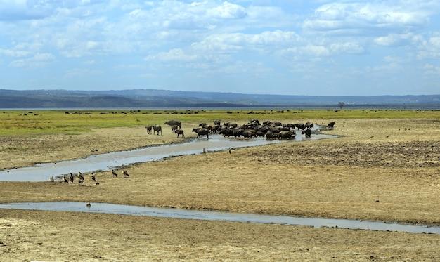 ケニアのナクル湖国立公園のケープバッファロー Premium写真