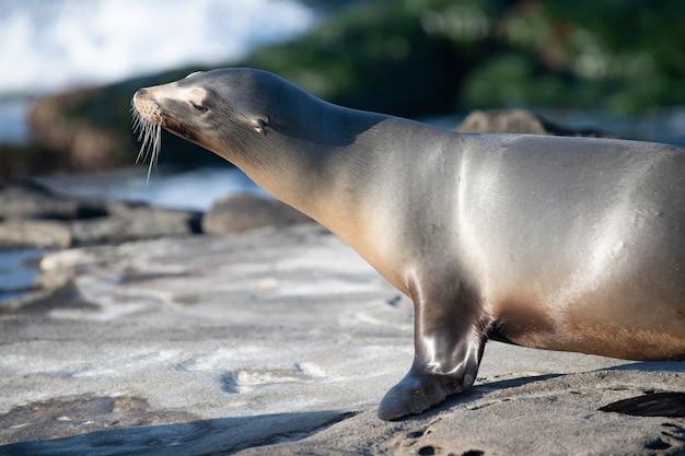 바다 사자와 케이프 물개 야생 동물 개념